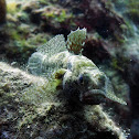 Grass goby