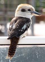 Photo: Year 2 Day 151 - Kookaburra on the Balcony