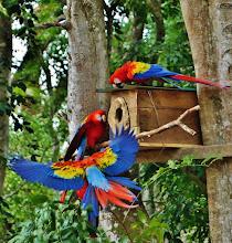 """Photo: Hellrote Aras (Ara macao, Scarlet Macaw) vor ihrer """"Nisthöhle"""" im Ruinenfeld von Copán."""