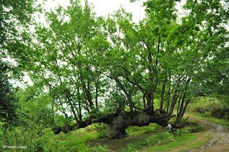 Photo: Quercus robur - roble centenario