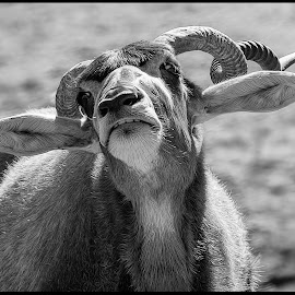 African Animal by Dave Lipchen - Black & White Animals ( african animal )