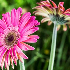 Pink Daisy by Heather Campbell - Flowers Flower Gardens ( pink flower, flower garden, nature, gerbera daisy, daisy, summer, pink, pink daisy, garden, flower,  )