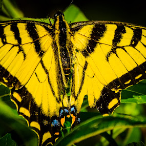 Yellow Butterfly by Chris Mowers - Animals Insects & Spiders ( michigan, butterfly, big rapids, yellow, close up,  )