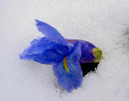 Iris di Libero