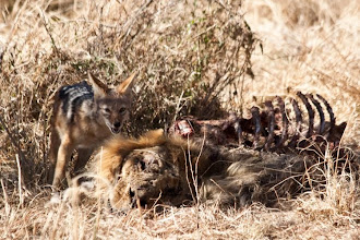 Photo: The Jackal is surely enjoying the nice taste of a dead lion! / Ten šakal si určitě moc pochutnává na otravným lvu!