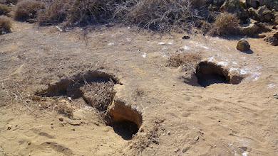 Photo: Kaninchen graben die Höhlen in denen dann auch die Pardelas brüten