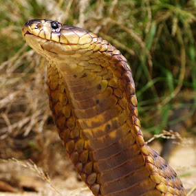 Snouted Cobra by Gavin Falck - Animals Reptiles ( snake, nature, wildlife, reptile, animal,  )