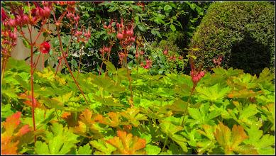Photo: Priboi (Geranium) - din Turda, Str. Rapsodiei, Nr. 6, spatiu verde - 2019.06.06