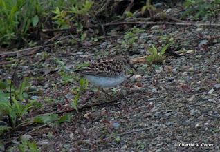Photo: Least sandpiper, 5.9.10