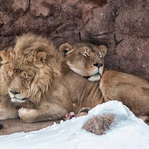 torontozoo-lions001.jpg