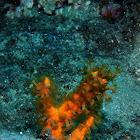 Soft Coral Polyps
