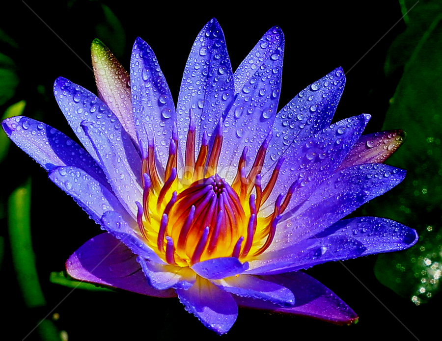The Lotus . by Edwin Teow - Nature Up Close Flowers - 2011-2013 ( lotus, nature, flowers, waterdrops, garden, flower )