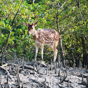 Spotted Deer, Sunderbans, India by Alpana  Ghone - Uncategorized All Uncategorized ( mangroves, sunderbans, playful, incredible india, swift )