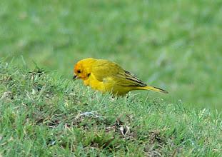 Photo: Saffron Finch