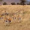 gacela de Thomson (Thomson's gazelle)