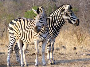 Photo: Kruger NP - zebras
