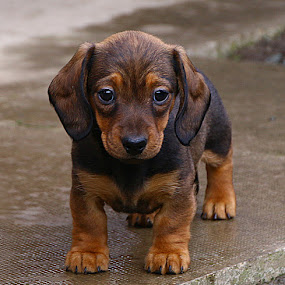 Puzzled Pup by Chrissie Barrow - Animals - Dogs Puppies ( pup, claws, eyes, red, pet, dachshund (miniature smooth), ears, fur, puppy, legs, paws, dog, nose, tan, black,  )