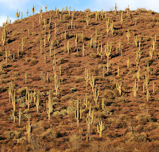 Photo: A whole lot of saguaro dominate one tall hill east of Globe along Highway 70 in the San Carlos Reservation area near Junction 8. I saw this early in the morning on a drive for business, so I was looking for it during my return, and exactly as the Golden Hour came. Like the image posted yesterday, the colors are so intense and nature dominates all. #nature #arizona #arizonaphotography #cactus