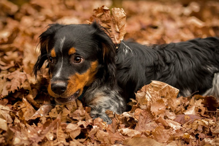 Brittany Spaniel playing in leaves by Jenny Trigg - Animals - Dogs Playing ( playing, autumn, spaniel, puppy, brittany spaniel,  )