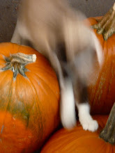 Photo: ... and then she pounced again! .... that's what happened!  Just a blur and then she's gone.... Another successful mission in the pumpkin patch....... -------------------------------------------------- .. #Caturday ... hosted by +Christophe Friedli & +Lee Daniels .... ^.,.^