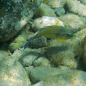 East Atlantic peacock wrasse