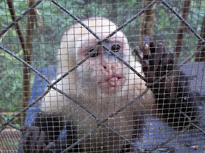 Photo: Hugo, a capuchin sticks his tongue out at volunteer, Vernita in reponse to her doing the same thing, photo by Vernita Gundy.