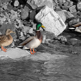 Mallards by Benny Høynes - Animals Birds ( canon, nature, mallards, canon ef, birds, sunbathing, norway, mallard duck )