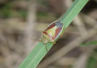 Photo: Piezodorus lituratus