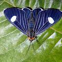 Calodesma Tiger Moth