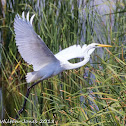 Great White Egret; Garceta Grande