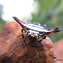 Oiental spiny orb-weaver