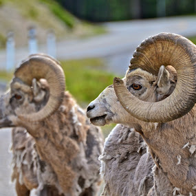 Horny by  J B  - Animals Other Mammals ( horny, rams, rocky mountain sheep, profile )