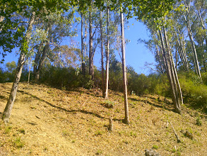Photo: The eucalypti should be eradicated and the broom pulled up by the roots. This bank and ridge would then be manageable.