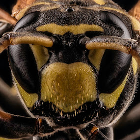 !st Insect Portrait by Rui Isidro Falacho - Animals Insects & Spiders ( macro, wasp, rui falacho, clicksmile, falacho )