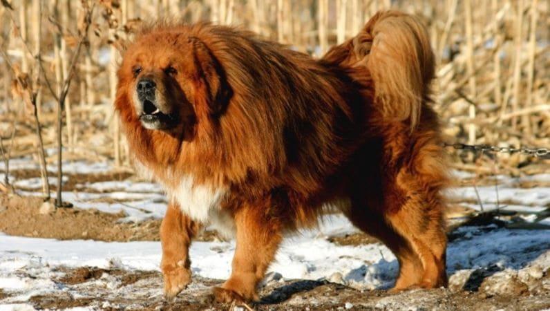 4ème race de chien la plus chère: Mastiff tibétain