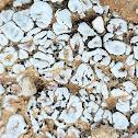 Blushing Scale Lichen