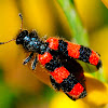 Checkered Beetle; Escarabajo Ajedrezado