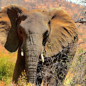 by Christo W. Meyer - Animals Other Mammals ( animals, elephant, bush, wildlife )