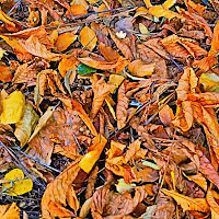 Oliage...Orange Foliage di