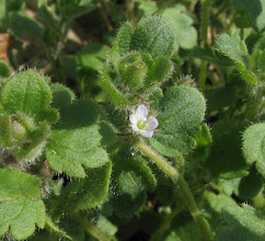 Photo: Ivy-leaved speedwell April 6th 2015 © Gill Smith 2015