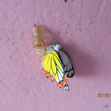 Pupa of Common Jezebel Butterfly