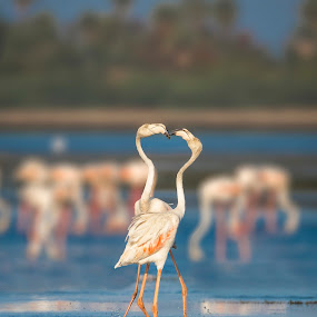 Two to Tango by Santanu Majumder - Animals Birds ( pulicat, birds, flamingos )