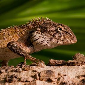 Oriental Garden Lizard by Johannes Schaffert - Animals Reptiles ( lizard, macro, phuket, reptile,  )