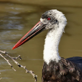 Woolly Necked Stork by Judy Patching - Novices Only Wildlife ( bird, nature, wildlife, woollyneckedstork,  )