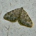 Mattia moth