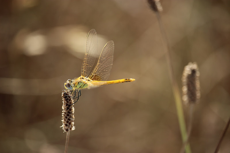 ali d'oro di Lorenza Bellini