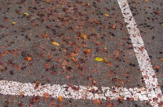 Photo: Ficus Fig tree deadfall covers a church parking lot, Santa Barbara, CA, may 13, 2012