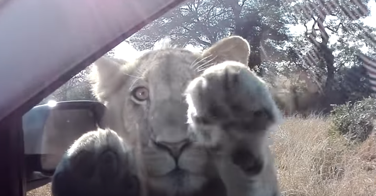 This lion in the Kruger Park appears to be waving at people inside a car.