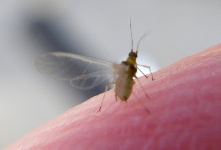 Photo: Soybean aphid, of which we endured a swarm for more than a week in Central Illinois, 2009.  They'd get in your clothes, your hair, your ears, your nostrils, your eyes...  This little guy is TINY; those are the ridges of my fingerprint he's standing on.