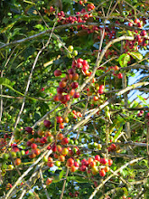 Photo: Coffee ready to pick. Because of the varying ripening time of the berries it has to be picked every few days.